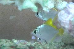 Angelfish, aquarium 1 Stock Footage