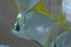 Angelfish, aquarium 2 Stock Footage