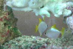 Angelfish, aquarium 4 Stock Footage