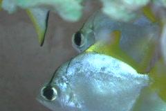 Angelfish, aquarium 6 Stock Footage
