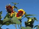 Stock Video Footage of sunflower in breeze zoom in