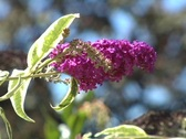 "Stock Video Footage of ""Butterfly Bush""  - 3"