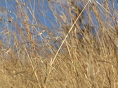Stock Video Footage of blond grass in breeze - 2