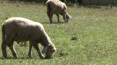 Grazing sheep Stock Footage