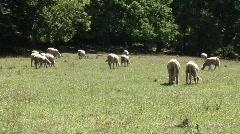 Grazing sheep 5 Stock Footage