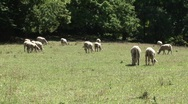 Stock Video Footage of grazing sheep 5