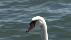 Swan 2 Stock Footage
