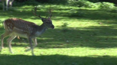 deer - stock footage