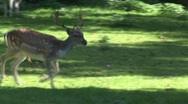 Stock Video Footage of deer