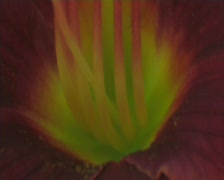 Macro-Ant_on_Flower Stock Footage