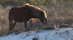 Assateague Island Pony Eating Grass Static Stock Footage