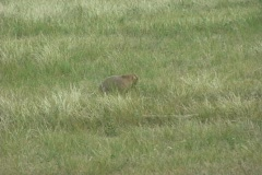 Wildlife Prairiedog Stock Footage