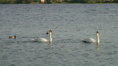 Swans flowing by - stock footage
