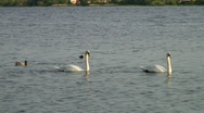 Stock Video Footage of Swans flowing by