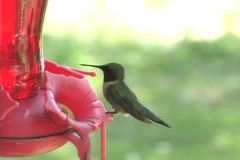 HummingBird02 - stock footage