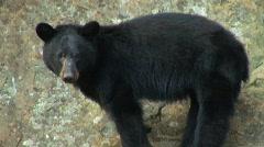 Front Royal, VA - Shenandoah Park - Black Bear 01 Stock Footage
