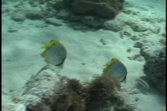 Spotfin Butterflyfish Stock Footage