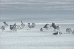 Ice Birds - stock footage