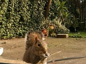 Stock Video Footage of Squirrel