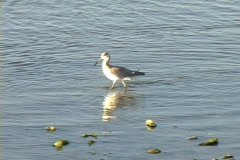Shorebird Stock Footage