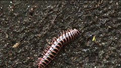 Centipede - close up - stock footage
