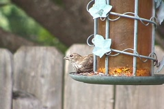 Female Finch - stock footage