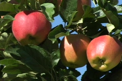 Apples ripe for the picking! Stock Footage