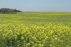 Canola field near Red Deer Alberta, Canada - stock footage