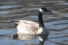 Canadian Geese on pond. Stock Footage
