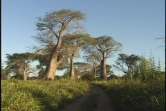 Baobab trees in Malawi at sunset Stock Footage