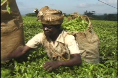 Malawi, Africa: Picking tea on tea plantation Stock Footage