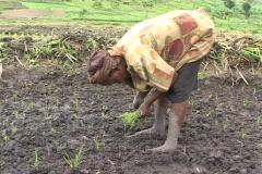 Woman plants rice in field in Rwanda, Africa Stock Footage