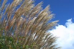 Pampas Grass  Stock Footage