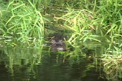 Stock Video Footage of Alligator
