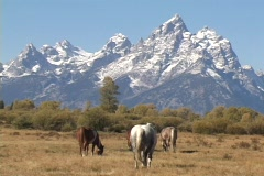 Horses graze at the foot of the Grand Teton Mountian. - stock footage