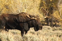 Bull Moose in Grand Teton National Park, Wyoming - stock footage
