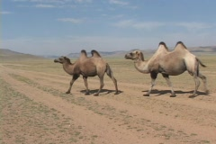 Mongolia: Camels walk - stock footage