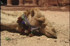 Jordan: Camel in front of the Treasury in Petra - stock footage