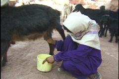 Jordan: Bedouin Girl milks goat Stock Footage