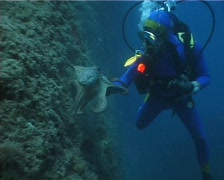 Diver and Octopus 03 PAL Stock Footage