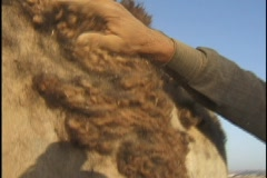 Jordan: Camels, Harvesting wool - stock footage