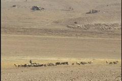 Jordan: Sheep and goats, herding - stock footage