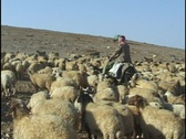 Jordan: Sheep Stock Footage