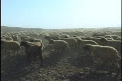 Jordan: Sheep - stock footage