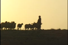 Stock Video Footage of Jordan: Sheep