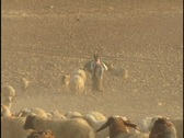 Jordan: Sheep herding Stock Footage