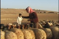 Jordan: Sheep milking, tieing up the sheep - stock footage