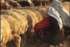 Jordan: Sheep Milking - stock footage