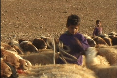 Jordan: Sheep Milking, letting the sheep go Stock Footage