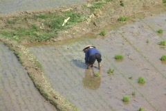Vietnam: Rice fields pull out to long wade shot Stock Footage